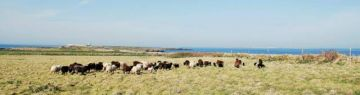 moutons dans le pré Sud